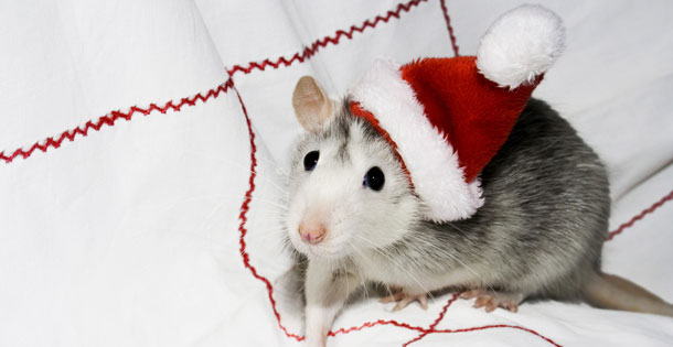 Mouse wearing a Santa hat.