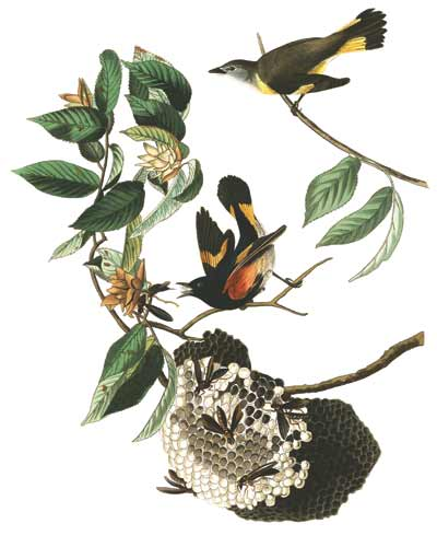 American Redstart birds in a tree