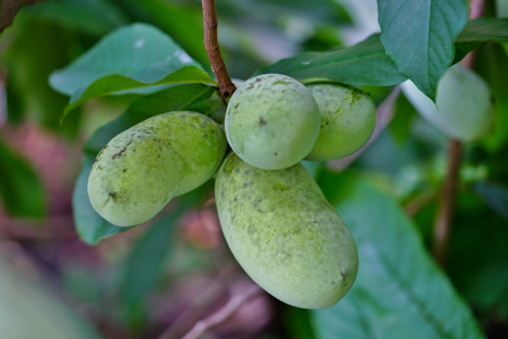 Pawpaw fruit on a tree branch,