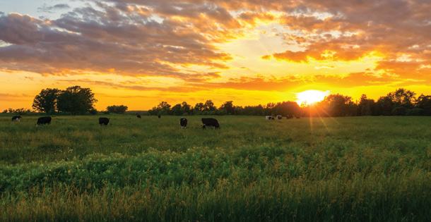 Cows in a field while the sun sets.