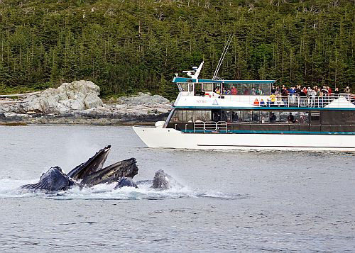 Boat passengers watch whales cresting.