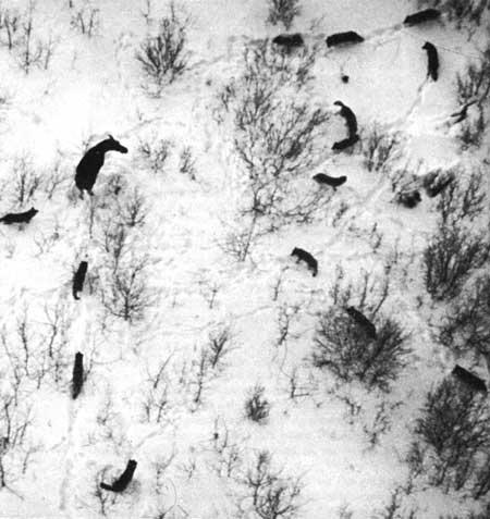 Isle Royale: Wolves Hunting Moose