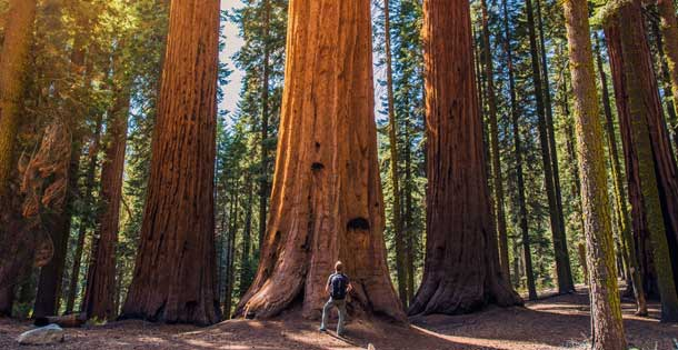 San Francisco Is Planting 75 Giant Redwood Clones In Presidio Neogaf