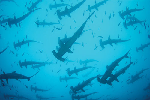 Hammerhead sharks swarm together in the sea