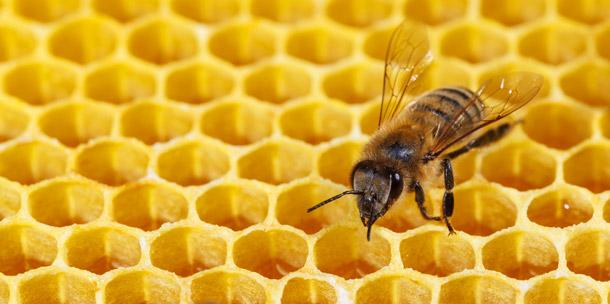 Honeybee on a honeycomb