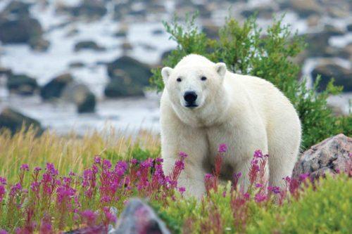Polar bear in a grassy, flowery field.
