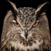 An intimidating owl