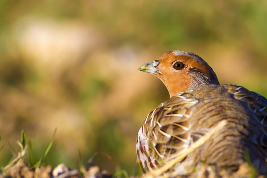 A partridge looking back