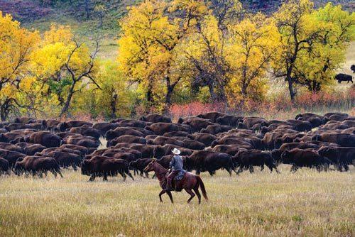 Cowboy hearding buffalo