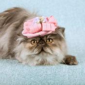 Persian cat wearing a hat