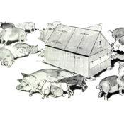 Illustration of farm pigs
