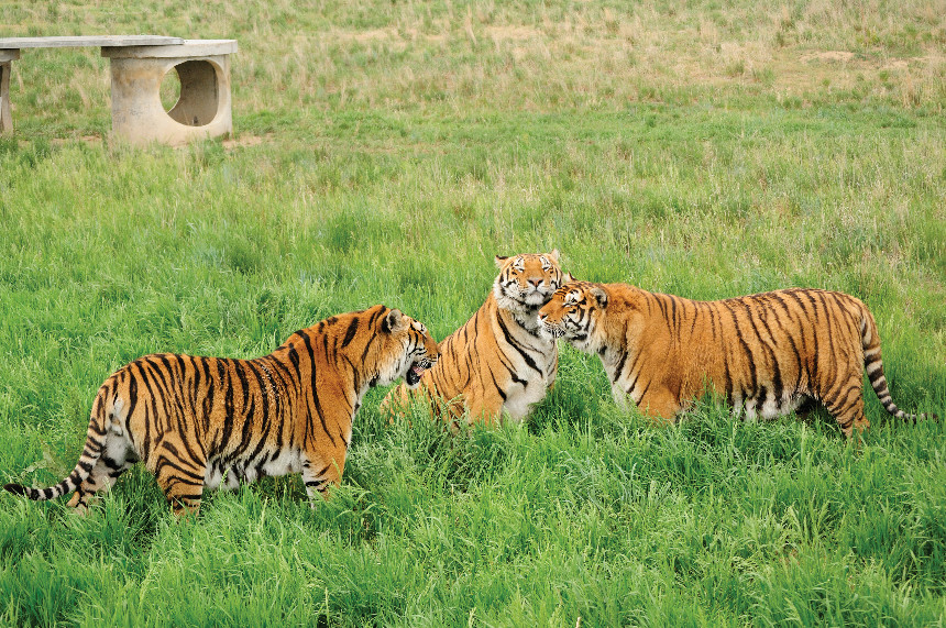 Tigers in habitat