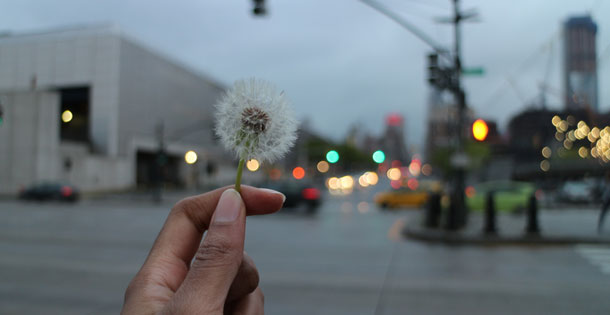 Dandelion in the city